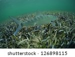 In its natural habitat, a bonefish is swimming in the grass flats ocean - stock photo