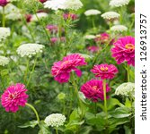 Small photo of Pink zinnia and ammi majus or Laceflower blooms in a field