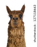 Front View Close Up Of Alpaca...