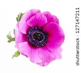 Poppy Anemone - stock photo