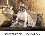 Stock photo cat and dog british kittens and french bulldog puppy in retro background 127193777