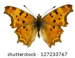 Dorsal View Of Polygonia Egea ...