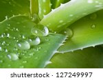 Small photo of Drops of water on leaf of aloe