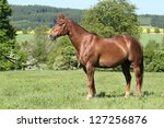 Beautiful American Quarter horse stallion posing - stock photo