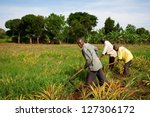 EQUATOR, UGANDA - NOV 1: Unidentified workers working on a pineapple field on November 1, 2012 at the Equator, Uganda. Agriculture is an important sector in Uganda. It employs 68% of the population. - stock photo