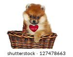 Sweet Pomeranian puppy present in basket. - stock photo