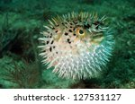Blowfish Or Puffer Fish...