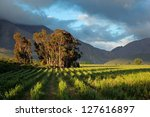 landscape of a lush vineyard... | Shutterstock . vector #127616897