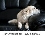 Chihuahua Dog Dozing On Black ...