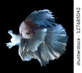 siamese fighting fish, betta splendens isolated on black background - stock photo