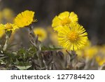 Coltsfoot flowers (Tussilago farfara) This flower is often used in herbal tea - stock photo