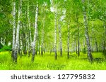 Beautiful landscape - summer birchwood - stock photo