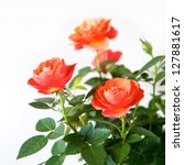 Stock photo rose bush isolated on a white background 127881617