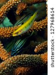Close up image of grunt and yellow wrasse tropical fish with staghorn coral - stock photo