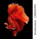 Siamese fighting fish, beta splendens on black background, studio shot - stock photo