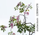 Pink blossom and tree branch - stock photo