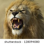 Lion male yawning, Serengeti National Park - stock photo
