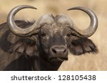 African or Cape buffalo, Serengeti National Park - stock photo