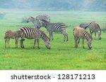 Zebras Graze At Manyara...