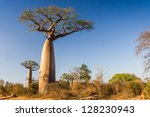 baobab trees from madagascar | Shutterstock . vector #128230943