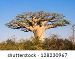 baobab tree from madagascar | Shutterstock . vector #128230967