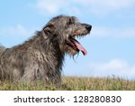Portrait a nice wolfhound lying in the grass - stock photo
