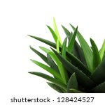 aloe vera plant isolated on... | Shutterstock . vector #128424527