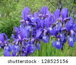 Beautiful flowers of Iris - stock photo