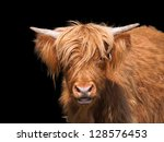 Scottish Highland Cattle...