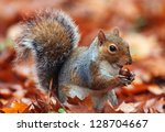 Squirrel  Autumn  Acorn And Dr...