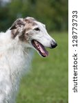 Portrait of nice dog - borzoi - stock photo