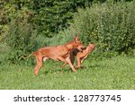 Two nice pharaoh hound dog running - stock photo