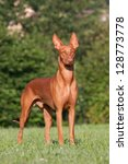 Portrait of nice Pharaoh Hound - stock photo
