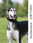 Portrait of nice dog - saluki - stock photo