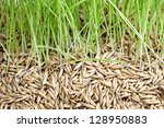 Green Grass And Seed