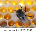 a bee fills honeycombs fresh honey - stock photo