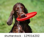Funny cute wet Irish Setter holding a frisbee - stock photo