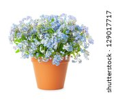 Forget Me Not Flowers In Pot...
