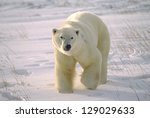 Large Male Polar Bear On Arcti...