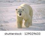 Large Male Polar Bear On Arcti...