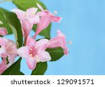 Pink honeysuckle flowers on a blue background - stock photo