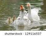 Goose Swimming With Their...
