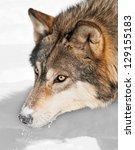 Grey Wolf  Canis Lupus  Head...