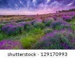 Sunset Over A Summer Lavender...