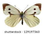 Cabbage White Female  Pieris...