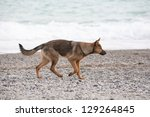 Portrait of German shepherd walking on beach - stock photo