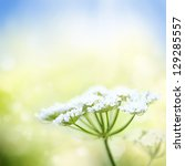 White Wild Carrot Flower On A...