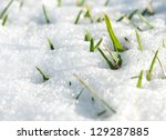 first green grass from under to snow - stock photo