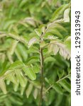 Curry Leaves Plants