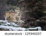Two Mexican Gray Wolves  Canis...
